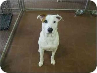 Labrador Retriever/Shepherd (Unknown Type) Mix Dog for adoption in Plano, Texas - Rodeo