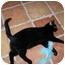 Photo 3 - Domestic Shorthair Cat for adoption in Scottsdale, Arizona - Fox