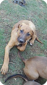 Doberman Pinscher/Boxer Mix Puppy for adoption in Bakersfield, California - Veronica