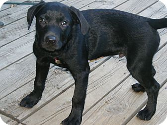 Labrador Retriever/Retriever (Unknown Type) Mix Puppy for adoption in Toledo, Ohio - ROLLY 4mos