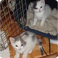 Adopt A Pet :: Sage - Toronto, ON