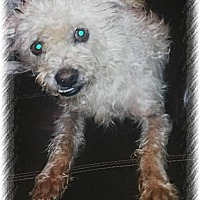Brussels Griffon/Wirehaired Fox Terrier Mix Dog for adoption in San Bernardino, California - Chewbacca