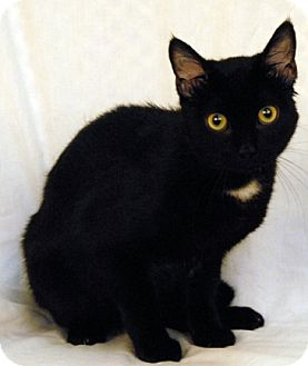 Domestic Shorthair Cat for adoption in Newland, North Carolina - Sulley