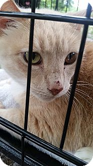 Domestic Shorthair Cat for adoption in Ocala, Florida - Rusty needs a hero