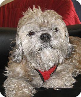 Shih Tzu Mix Dog for adoption in Las Vegas, Nevada - Jacque