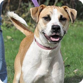 Boxer/Beagle Mix Dog for adoption in Lisbon, Ohio - Haven