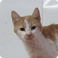 Domestic Shorthair Cat for adoption in Jackson, Missouri - Alan