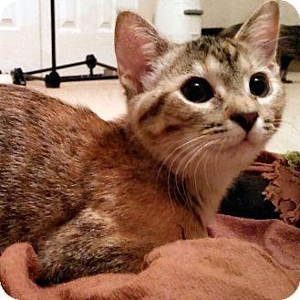 Domestic Shorthair Kitten for adoption in Arlington/Ft Worth, Texas - Petal