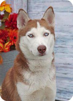 Siberian Husky Dog for adoption in Inverness, Florida - Teeko