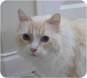 Ragdoll Cat for adoption in Keizer, Oregon - Grimilken