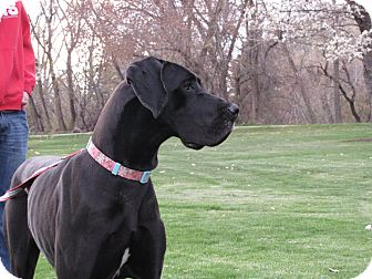 Great Dane Dog for adoption in Roosevelt, Utah - Skya
