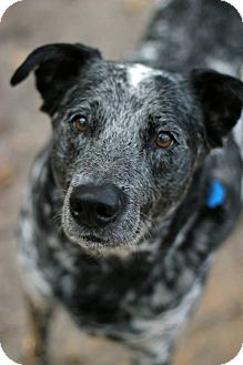 Cattle Dog Dog for adoption in Tinton Falls, New Jersey - Meo
