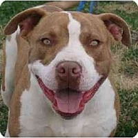 Pit Bull Terrier Dog for adoption in Liverpool, Texas - Parker **VIDEO**