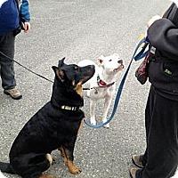 Adopt A Pet :: Dodge - Surrey, BC