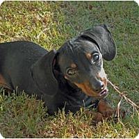 Adopt A Pet :: Winston - San Jose, CA