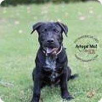 Adopt A Pet :: BALOO - Gilbert, AZ