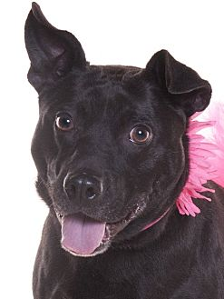American Pit Bull Terrier/Labrador Retriever Mix Dog for adoption in Chicago, Illinois - Izzy