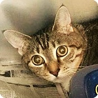 Adopt A Pet :: Zoey (Declaw) - Chattanooga, TN