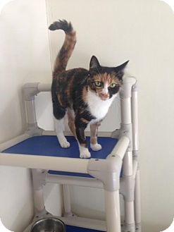 Domestic Shorthair Cat for adoption in Cashiers, North Carolina - Cleo