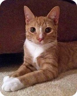 Domestic Shorthair Kitten for adoption in Merrifield, Virginia - Secretariat