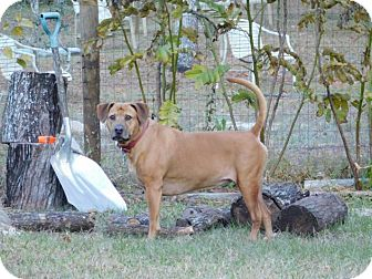 Black Mouth Cur Mix Dog for adoption in Spring Hill, Florida - Rudee