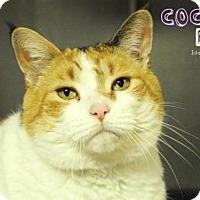 Adopt A Pet :: Coco Puff - Hamilton, ON