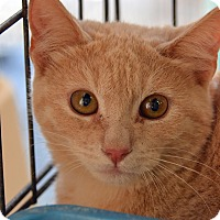 Domestic Shorthair Cat for adoption in Brooksville, Florida - 10309912
