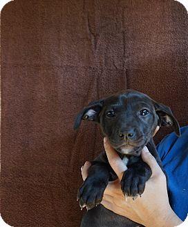 Beagle/Australian Shepherd Mix Puppy for adoption in Oviedo, Florida - Dream