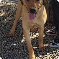 Adopt A Pet :: Bonnie's Belle - Las Vegas, NV