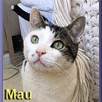 Adopt A Pet :: Mau - Aldie, VA