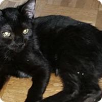 Adopt A Pet :: Wild Chiraz - Glendale, AZ