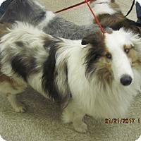 Adopt A Pet :: bear - apache junction, AZ