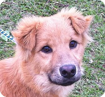 Golden Retriever Mix Puppy for adoption in New Canaan, Connecticut - Chewwie