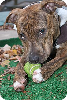 Boxer Mix Dog for adoption in Waldorf, Maryland - Patches