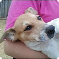 Adopt A Pet :: Josie - Arlington, TX
