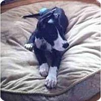 Adopt A Pet :: Dozer - Inver Grove Heights, MN