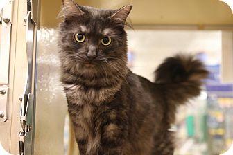 Maine Coon Cat for adoption in Gainesville, Virginia - Sydney