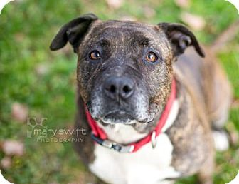American Pit Bull Terrier Mix Dog for adoption in Reisterstown, Maryland - Tam Tam