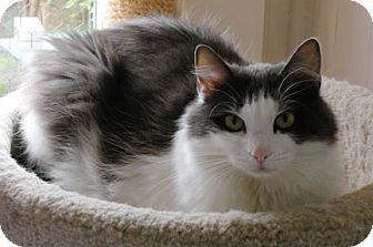 Domestic Longhair Cat for adoption in Anacortes, Washington - Della