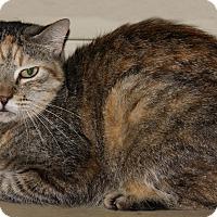 American Shorthair Cat for adoption in Torrance, California - Cara