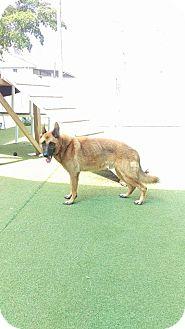 German Shepherd Dog/Belgian Malinois Mix Dog for adoption in Cape Coral, Florida - Hero