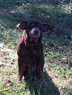 Miniature Pinscher Mix Dog for adoption in Richmond, Kentucky - Rusty