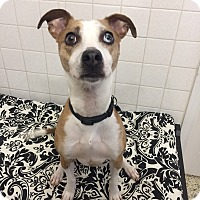 Jack Russell Terrier Mix Dog for adoption in St. Louis, Missouri - Zippy