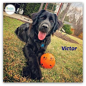 Flat-Coated Retriever Mix Dog for adoption in Plainfield, Illinois - Victor