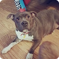 American Pit Bull Terrier Mix Dog for adoption in Akron, Ohio - Riley-pending adoption