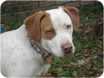 Brittany/German Shorthaired Pointer Mix Dog for adoption in Kingwood, Texas - Jasper