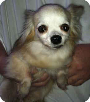 Chihuahua Mix Dog for adoption in Seattle, Washington - Lola