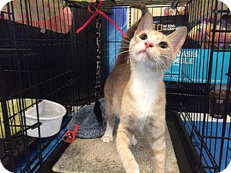 Domestic Shorthair Cat for adoption in Arlington/Ft Worth, Texas - Apple