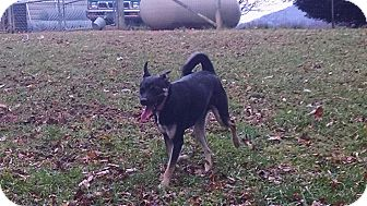 Doberman Pinscher/Jack Russell Terrier Mix Dog for adoption in Greeneville, Tennessee - Toby