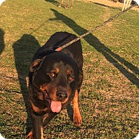 Rottweiler Mix Dog for adoption in Kaufman, Texas - Stryker